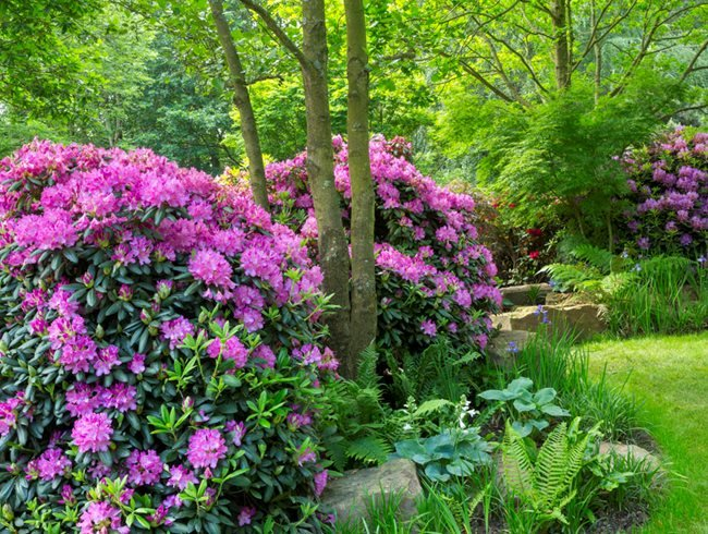Evergreen Rhododendron, Low Maintenance Shrub Garden Design Calimesa, CA