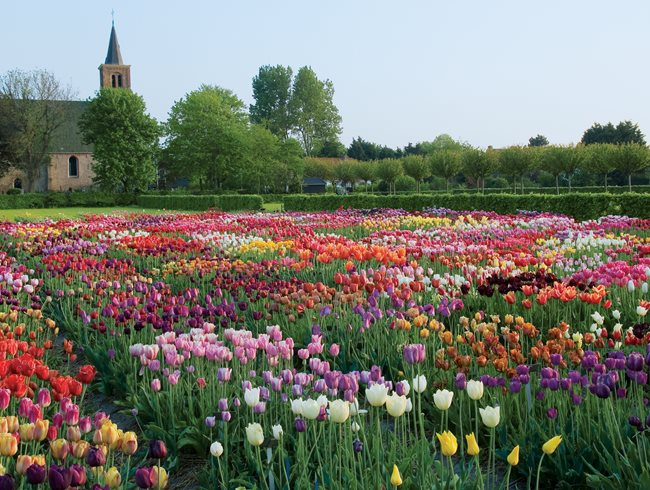 Planting tulips how to grow care for tulips garden for Garden design netherlands