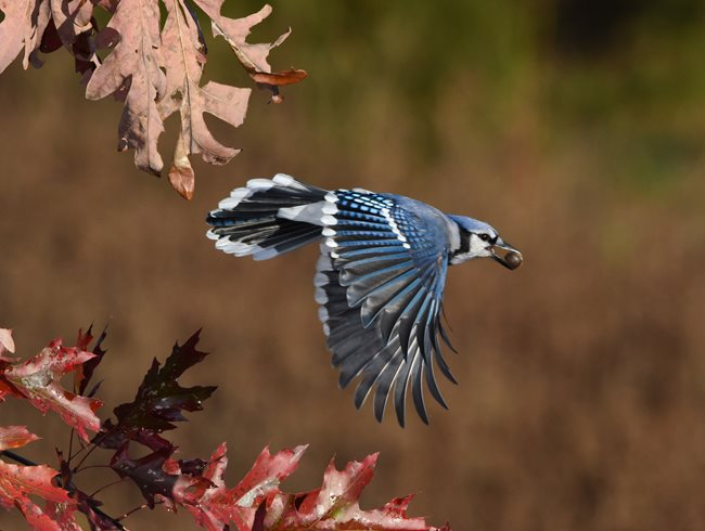Flying Bluejay, Acorn
