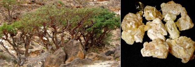 Image result for biblical frankincense plant pictures