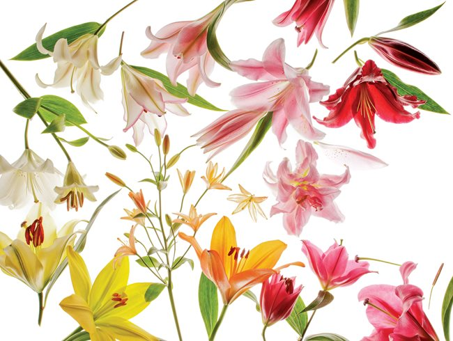 Lily Types New Varieties Hybridization Garden Design