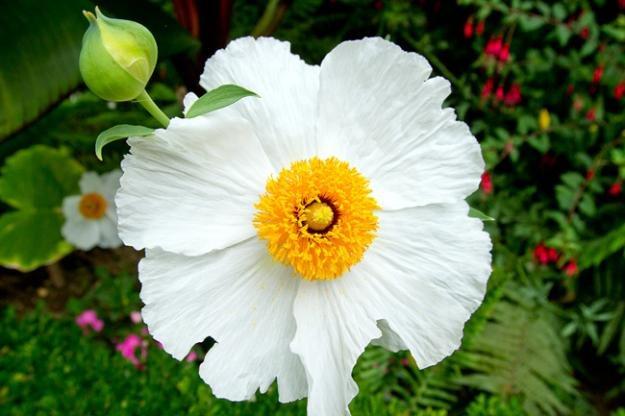 Botanic Notables Matilija Poppy Garden Design