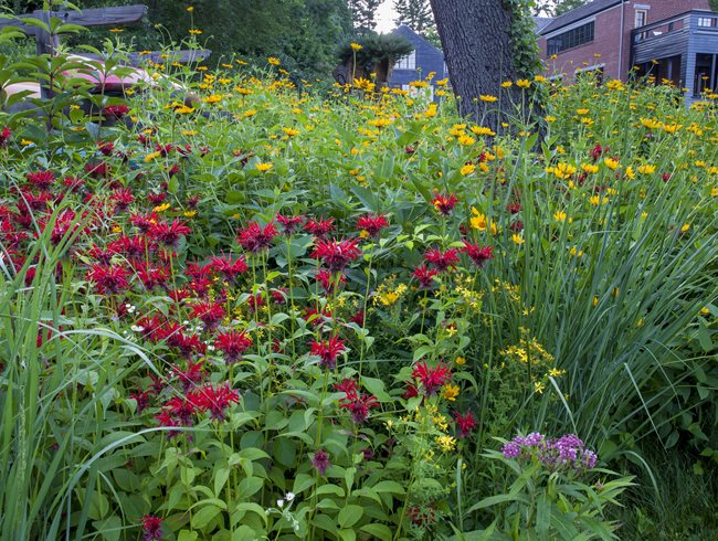 Meadow Flowers, Bee Balm, Oxeye Sunflowera Larry Weaner Landscape Associates Glenside, PA