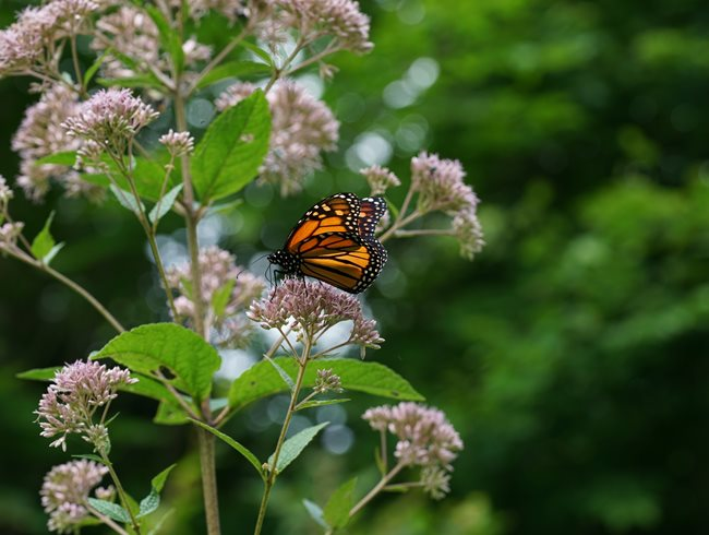 Monarch Butterfly, Joe Pye Weed Rick Darke LLC Landenberg, PA