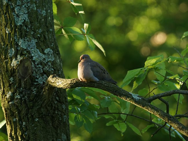 Mourning Dove, Sourwood Tree Rick Darke LLC Landenberg, PA