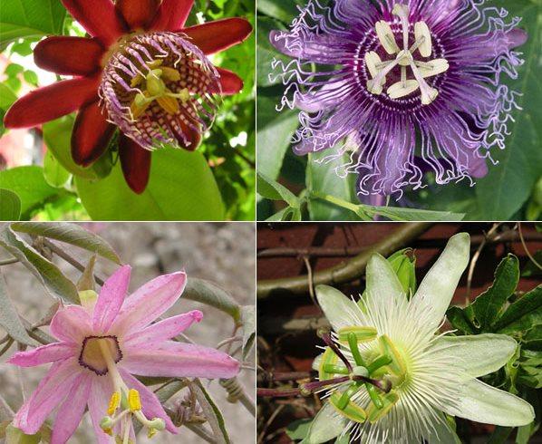 Botanic Notables 500 Shades Of Passiflora Garden Design