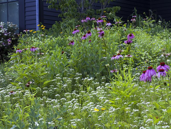Purple Coneflower, Mountainmint Larry Weaner Landscape Associates Glenside, PA