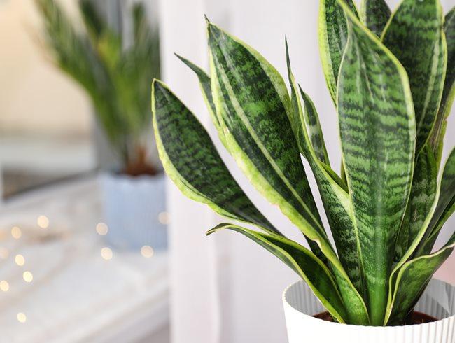 Sansevieria Trifasciata 'laurentii', Houseplant, Green Leaves Shutterstock.com New York, NY