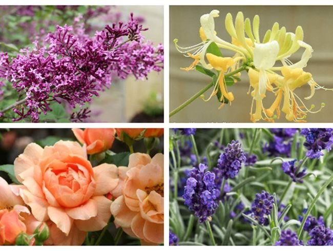 Scented Flowers, Rose, Lilac, Honeysuckle, Lavender Proven Winners Sycamore, IL