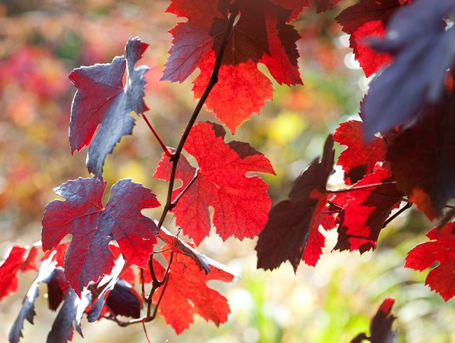 "Vitis Vinifera 'purpurea' (purple Leaf Grape"" Garden Design Calimesa, CA"