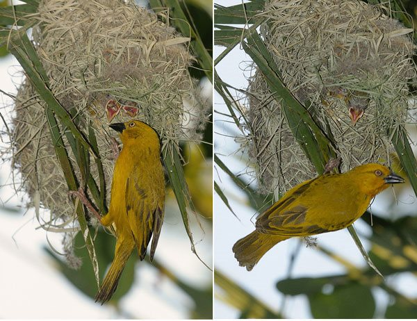 Weaver bird nest pictures - photo#28