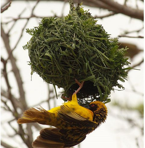 Weaver Bird In Salem Garden Design Calimesa, CA