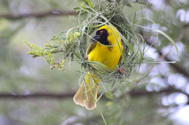Weaver bird nest pictures - photo#25