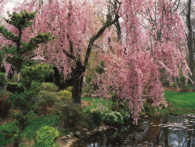 Weeping Cherry Prunussubhirtella Garden Design Calimesa CA