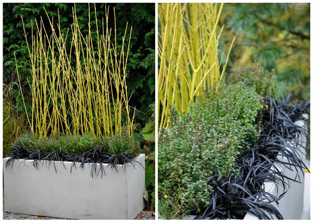 Yellow Twig Dogwood McCullough's Landscape & Nursery LLC Johnstown, OH
