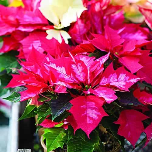 Poinsettia Care Garden Design