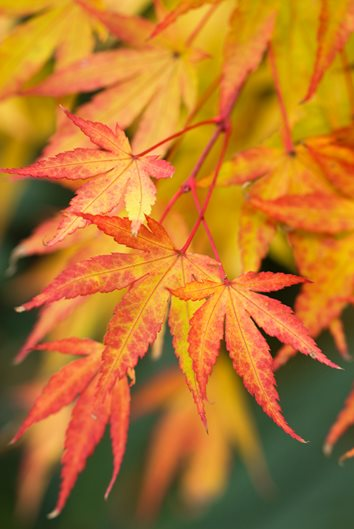 Japanese maples how to plant care and prune garden design Japanese maple leaf
