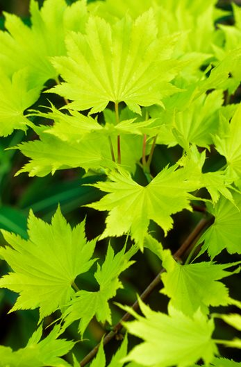 Japanese Maples How To Plant Care And Prune Garden Design