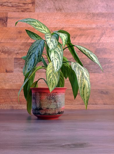 aglaonema-variegated-houseplant-shutterstock-com_12375 Red Leaves Tropical Houseplant on orchids red, succulents red, poinsettia red, trees red, cactus red,