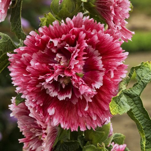Hollyhock Colors: Growing Hollyhocks: Planting & Caring For Hollyhock