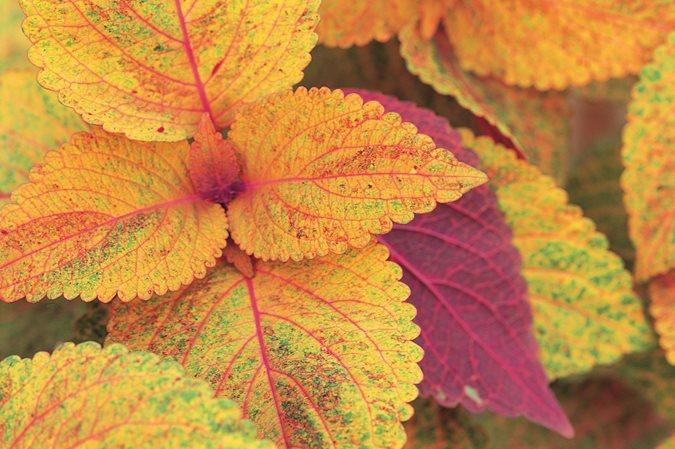 how to grow coleus in pots