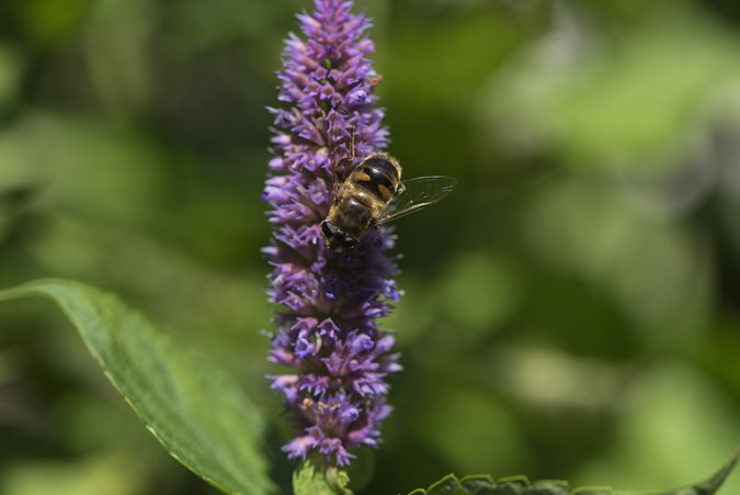https://www.gardendesign.com/pictures/images/675x529Max/site_3/anise-hyssop-bee-shutterstock-com_12048.jpg