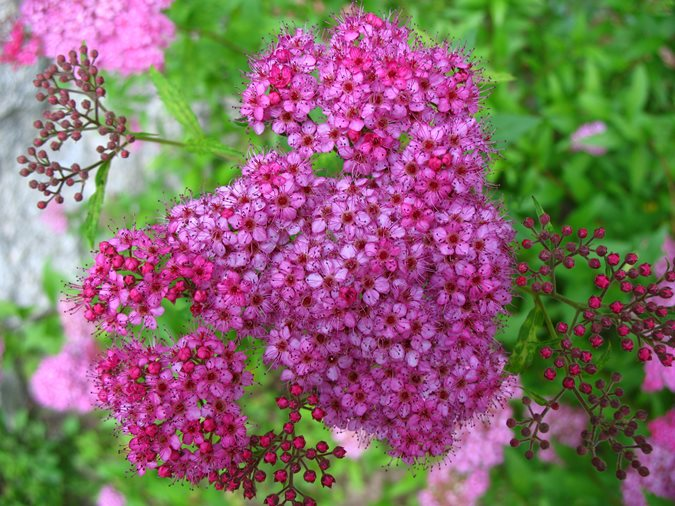 14 best flowering shrubs garden design for Pink flowering shrubs