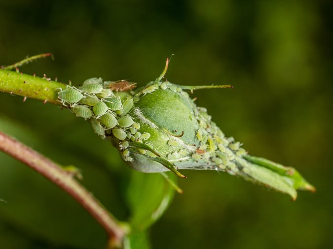 How to Get Rid of Aphids - Natural Aphid Control | Garden Design