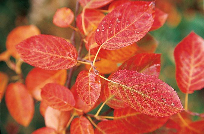 amelanchier x grandiflora autumn brilliance photo by mark turner
