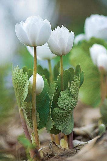 Planting spring wildflowers in the garden garden design sanguinaria canadensis mightylinksfo
