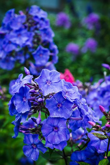 Growing Phlox – Planting & Caring for Garden Phlox ...