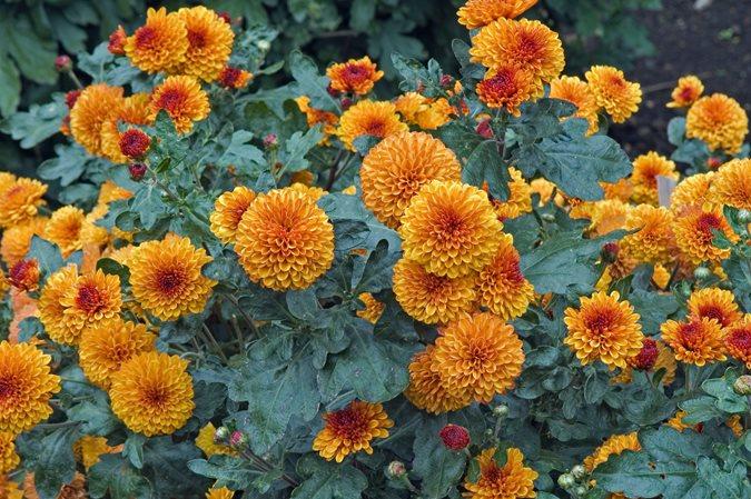 Chrysanthemums Growing And Care Tips Garden Design