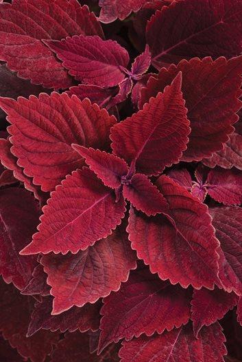 Coleus Plant Care Varieties Garden Design
