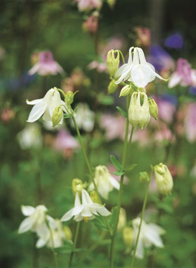 columbine flower  garden design, Beautiful flower