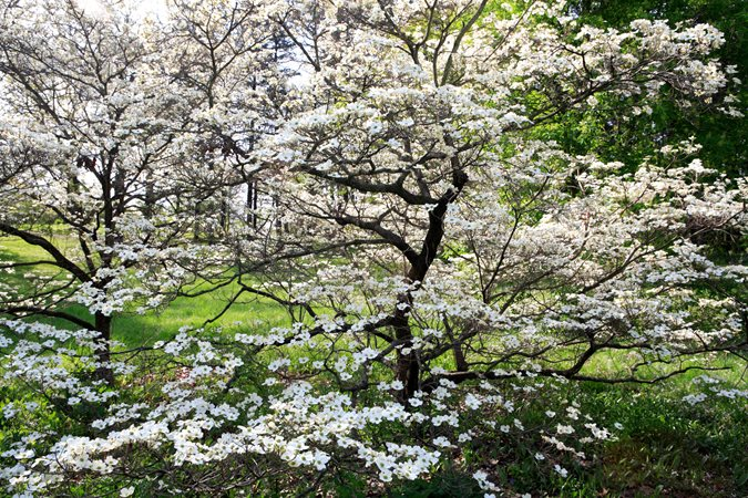 Dogwood Trees Planting Care And Facts Garden Design