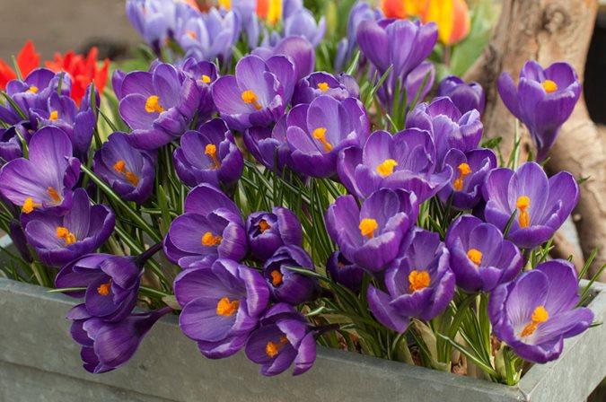 bf31fd666 Crocus vernus  Flower Record  - Photo by  Garden World Images