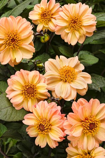 Growing Dahlias Planting Caring For Dahlia Flowers Garden Design