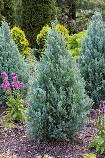 Juniperus Scopulorum U0027Wichita Blueu0027. Photo By: Garden World Images Ltd /  Alamy Stock Photo.