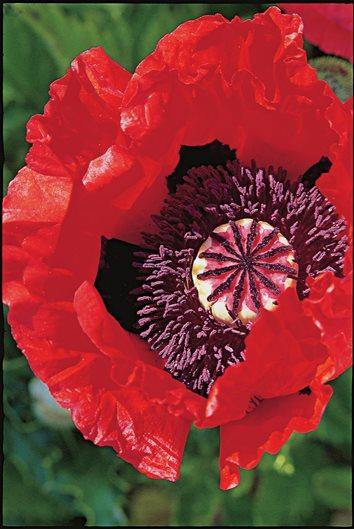 Growing oriental poppy flowers garden design degas mightylinksfo