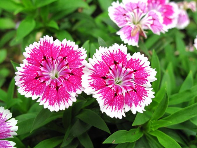21 easy to grow flowers for beginners garden design dianthus mightylinksfo
