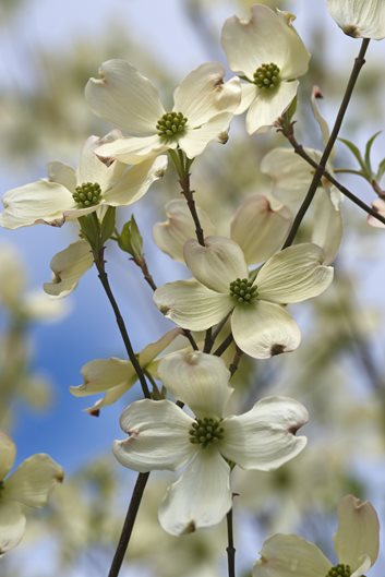 Dogwood trees planting care and facts garden design dogwood spring mightylinksfo