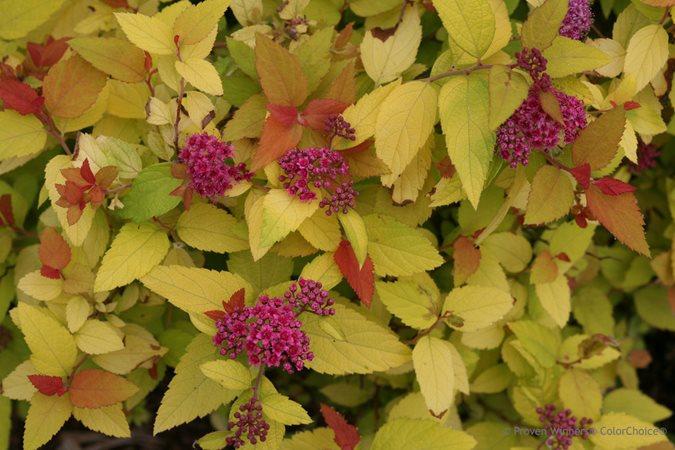 14 Best Flowering Shrubs Garden Design