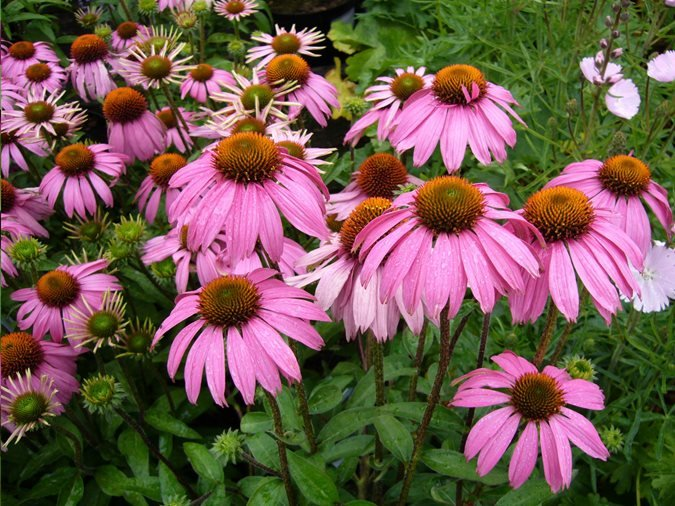 Coneflower Care Planting Growing Echinacea Flowers Garden Design