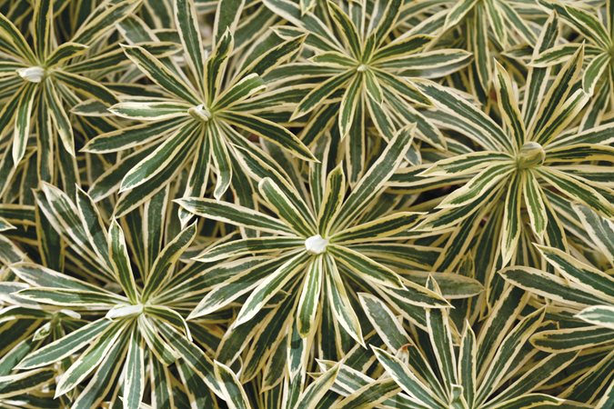 Euphorbia Plant Care Amp Varieties Garden Design