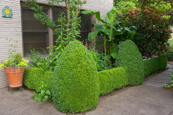 Ordinaire Buxus Sempervirens (English Boxwood)   Photo By: Janet Loughrey.