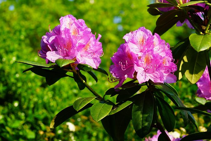 14 best flowering shrubs garden design pink rhododendron mightylinksfo