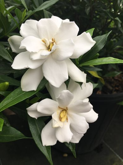 Growing Gardenias: How to Care for Gardenia Plants | Garden Design
