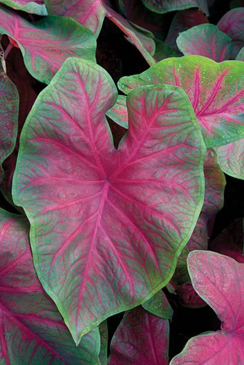 plant palette caladiums garden design. Black Bedroom Furniture Sets. Home Design Ideas