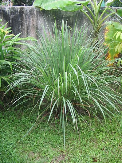 Mosquito Repellent Citronella Grass
