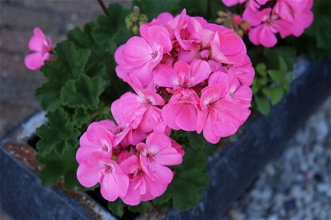 21 Easy To Grow Flowers For Beginners Garden Design
